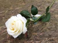 UK růže smetanová...