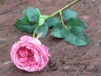 Anglická růže růžová tmavě...